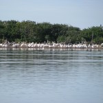 congregating egrets